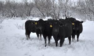texas marhák