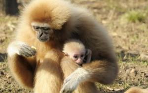 gibbon-nyíregyházi zoo