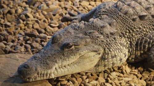 morelet krokodil