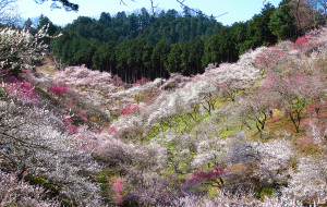virágzó szilvafák