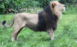 ázsiai oroszlán