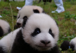 panda bébik