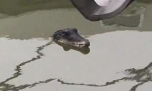 temze krokodil
