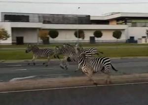 zebrák sopron