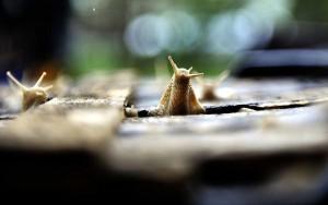 Telekgerendás, 2012. május 17. Begyűjtőktől átvett éti csigák (Helix pomatia) egy ládában Vargáné Júlia telekgerendási házának udvarán. Hazánkban április 1. és június 15. között van lehetőség a három centiméternél nagyobb éti csiga gyűjtésére, amelyet főként Olaszországba és Franciaországba szállítanak étkezési célból. Vargáné naponta akár 60-80 kilogramm csigát is átvesz, 100 forintos kilónkénti áron. A felvétel 2012. május 16-án készült. MTI Fotó: Lehoczky Péter