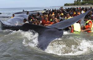 indinézia bálnák
