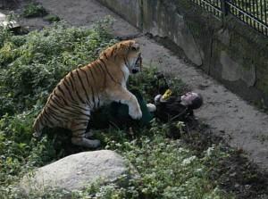 tigris támadás