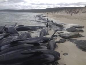 ausztrália öngyilkos delfinek
