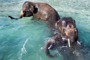 veszprémi elefántok