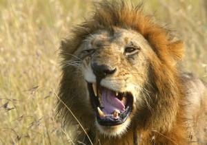 lionsnarl