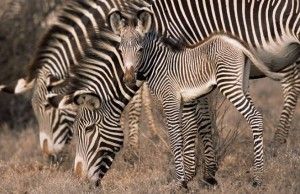 grevy-s-zebra-mother-and-foal-copyright-james-warwick-1-min