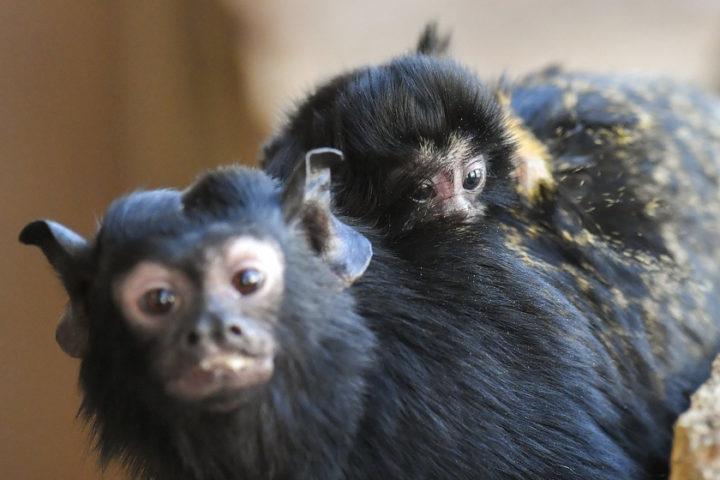 Aranykezű tamarinok születtek a debreceni állatkertben